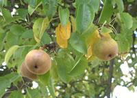 Perry pears at Alnwyn Farm, near Greggs Pit